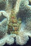 Komodo Dive Trip 05 scorpiancloseup