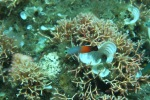 Komodo Dive Trip 10 firedartfish