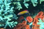 Komodo Dive Trip 11 redfinanthias