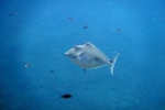 Komodo Dive Trip 17 humpbackunicornfish
