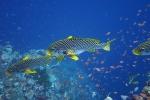 Komodo Dive Trip 19 diagonal-bandedsweetlips