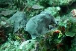 Komodo Dive Trip 21 giantfrongfish