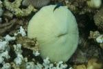 11 diving Jun II 006 mushroomcoaral