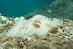 22 diving July 016 bleachedanenome