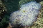 24 diving July 013 bleachedanenome