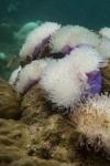 25 diving July 060 bleachedanenome